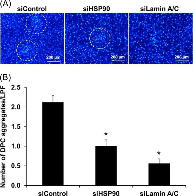 Effect of siHSP90 and siLamin A/C on self-aggregation formation of DPCs. a The siControl-, siHSP90-, and siLamin A/C-transfected DPCs were seeded at a high-density of 3 × 10 5 cells in each of 6-well plate and maintained for 72 h to allow self-aggregation formation. Thereafter, the cell nuclei were stained by Hoechst dye (in blue) and the cells were examined under an ECLIPSE 80i fluorescence microscope (Nikon) (Original magnification = ×100). The DPCs' cell clumps indicating self-aggregation formation are labeled with white dotted circle. b Number of the cell aggregates in each condition was counted from at least 25 low-power fields (LPF) per well. Each bar represents mean ± SEM of the data obtained from three independent experiments. * p