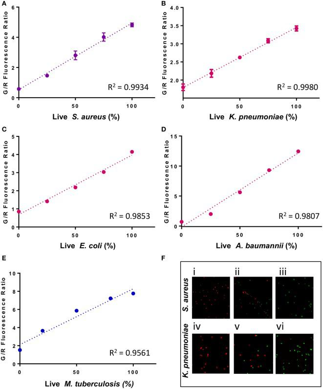 A linear relationship between the percentage of live cells and the green/red fluorescence ratio from the SYBR Green I/propidium iodide (PI) viability assay for different bacterial species. Known proportions of isopropyl killed (30 min) and live (A) Staphylococcus aureus (USA300), (B) Klebsiella pneumoniae (Isolate 7), (C) Escherichia coli (W3110), (D) Acinetobacter baumannii , and (E) Mycobacterium tuberculosis (H37Ra) were stained with SYBR Green I/PI and measured using a fluorescence plate reader. A linear regression line was determined. (F) Fluorescence microscopy image showing known proportions (0, 50, and 100%) of live (i–iii) S. aureus (USA300) and (iv–vi) K. pneumoniae (isolate 7) stained with SYBR Green I/PI reveal red (dead) and green (live) ratios in concordance with the known proportions of live and killed organisms from representative Gram-positive ( S. aureus ) and Gram-negative ( K. pneumoniae ) bacteria. Data represent the means ± SEMs.