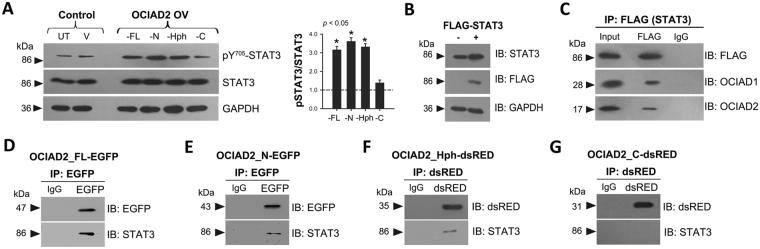 The double helical motif of OCIAD2 interacts with STAT3 and promotes its activation. ( A ) Western Blotting for detection of STAT3 and pSTAT3 (Y705) levels in HEK293 cells transfected with various OCIAD2 constructs as indicated. UT: untransfected, V: empty vector transfected; FL: OCIAD2_FL-EGFP; N: OCIAD2_N-EGFP; Hph: OCIAD2_Hph-dsRed and C: OCIAD2_C-dsRed. Graph represents pSTAT3/STAT3 ratio obtained upon overexpression of various OCIAD2 constructs relative to control (shown as a dotted line). n = 4 ( B ) Validation of transfection of FLAG-STAT3 construct into HEK293 cells by Western Blotting. ( C ) FLAG-STAT3 transfected HEK293 cell lysate subjected to immunoprecipitation with anti-FLAG antibody and assessed for interaction with OCIAD1 and OCIAD2. ( D – G ) HEK293 cell lysates expressing various OCIAD2 constructs (FL, N, Hph and C) were subjected to immunoprecipitation (IP) followed by immunoblotting (IB) to probe for interaction with STAT3. Protein size markers (in kDa) are indicated to the left. Data for STAT3/pSTAT3 Western Blotting are representative of three independent experiments and * p