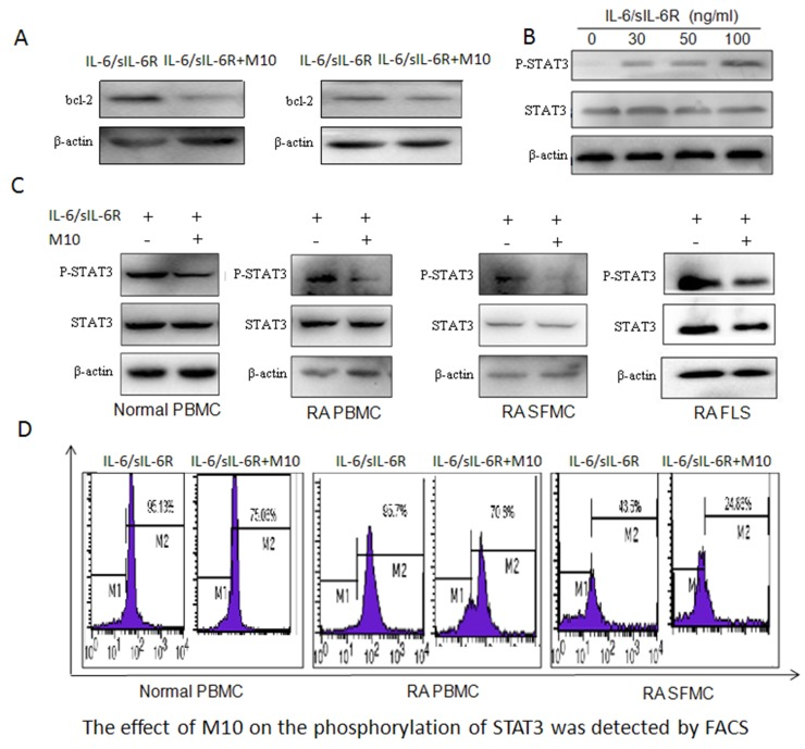 M10 intervention of the IL-6 signaling pathway in RA FLS (A) Western blotting determination of Bcl-2 levels in RA PBMC and FLS pretreated with M10 and cultured with IL-6/sIL-6Rα (100 ng/mL) for 72 h. (B) Western blot detection of STAT3 phosphorylation in RA FLS following 3-day stimulation with IL-6 and sIL-6Rα. (C) Western blot detection of STAT3 phosphorylation in normal PBMC, RA PBMC, RA SFMC, and RA FLS pretreated with M10 and cultured with IL-6/sIL-6Rα (100 ng/mL) for 30 min. (D) FACS detection of the effect of M10 on STAT3 phosphorylation in normal PBMC, RA PBMC, and RA SFMC.