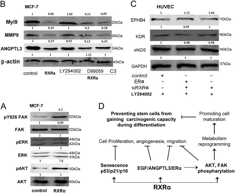 The signaling pathways underlying RXRα's impacts on cell differentiation and carcinogenesis. a Western blot analysis of FAK, AKT, ERK, and their phospharylation in MCF-7 with RXRα overexpression. b Western blot analysis of migration markers Myl9, MMP9, and ANGPTL3 in MCF-7 cells pretreated with AKT inhibitor LY294002, ERK inhibitor PD98059, and the Rho-associated protein kinase (ROCK) inhibitor Y27632 (C3). c Western blot analysis of the expression of differentiation markers EPHB4, KDR, and eNOs in HUVECs with siRXRα knockdown or/and ERα overexpression after pre-treating with AKT inhibitor LY294002. d Scheme of signaling pathways that RXRα participates. RXRα inhibits cell proliferation, angiogenesis, and migration through interacting with VEGF, ANGPTL3, and ERα. It could trigger senescence-like tumor-suppressing mechanism by upregulating p53, p21, and p16 in stem cells. It also regulates/participates in metabolism reprogramming through phosphorylation of AKT and FAK. The multiple functions suggest that RXRα may be a key cellular component in protecting stem cells from carcinogenesis
