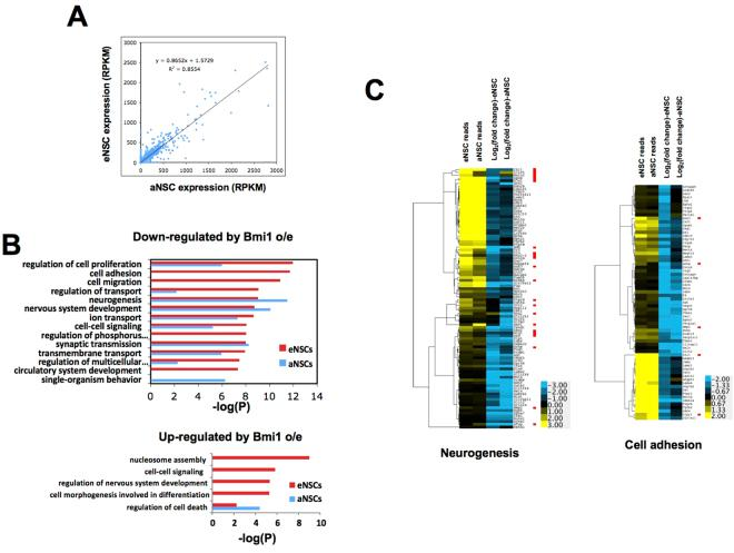 Effect on gene expression of Bmi1 overexpression in eNSCs compared to aNSCs. ( A ) Comparison of transcript levels measured by RNA-seq (reads per kilobase per million reads mapped, RPKM) in embryonic and adult NSCs (empty vector control, average of two biological replicates). ( B ) Gene ontology categories enriched for genes down-regulated (top) or up-regulated (bottom) upon Bmi1 overexpression in eNSCs (red bars) or aNSCs (blue bars). Categories having P