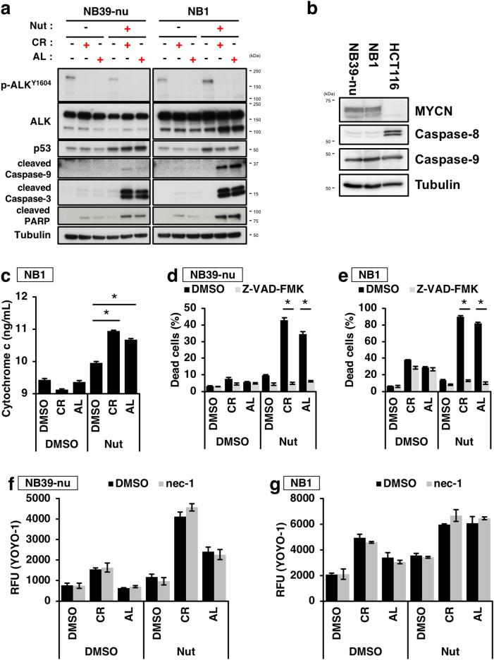 Combination treatment with the two ALK inhibitors and a p53 activator induces activation of the intrinsic apoptosis pathway. a , b Activation of mitochondria-mediated apoptotic pathway by combination treatment of the two ALK inhibitors with the p53 activator Nutlin-3. NB39-nu or NB1 cells were treated with 1000 nM of either of the two ALK inhibitors and 10 µM of Nutlin-3 for 16 h. The activation of the caspase cascade as a result of combination treatment was detected by immunoblot analysis ( a ). The expression levels of caspases-8 and -9 in NB39-nu or NB1 cells are shown in ( b ). c The increase in cytosolic cytochrome c following combination treatment. NB1 cells were treated with 1000 nM of either of the two ALK inhibitors and 10 µM of Nutlin-3 for 16 h. Cytosolic fractions were prepared by subcellular fractionation and the amount of cytochrome c present was quantified by ELISA. Data show the mean ± SEM ( n = 3). * p