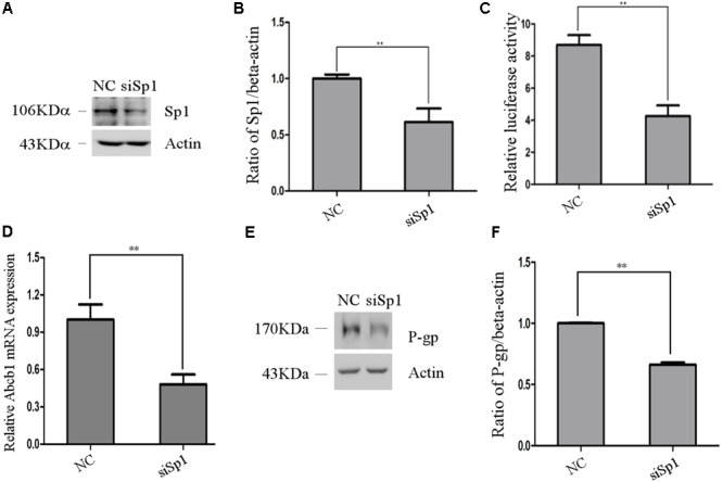 The effect of Sp1 knockdown on pig Abcb1 promoter activity and endogenous expression of pig P-gp expression in IPEC-J2 cells. (A) Downregulation of Sp1 protein level by specific siRNAs in IPEC-J2 cells was confirmed by Western blot, as compared to the negative control (NC) siRNA. (B) Semi-quantification of Western blot. (C) IPEC-J2 cells were co-transfected with pGL3-D4 construct and Sp1 siRNA or NC siRNA for luciferase assays. The Renilla luciferase reporter plasmid pRL-TK (Promega) was used as an internal control to estimate the transfection efficiency. ∗∗ p