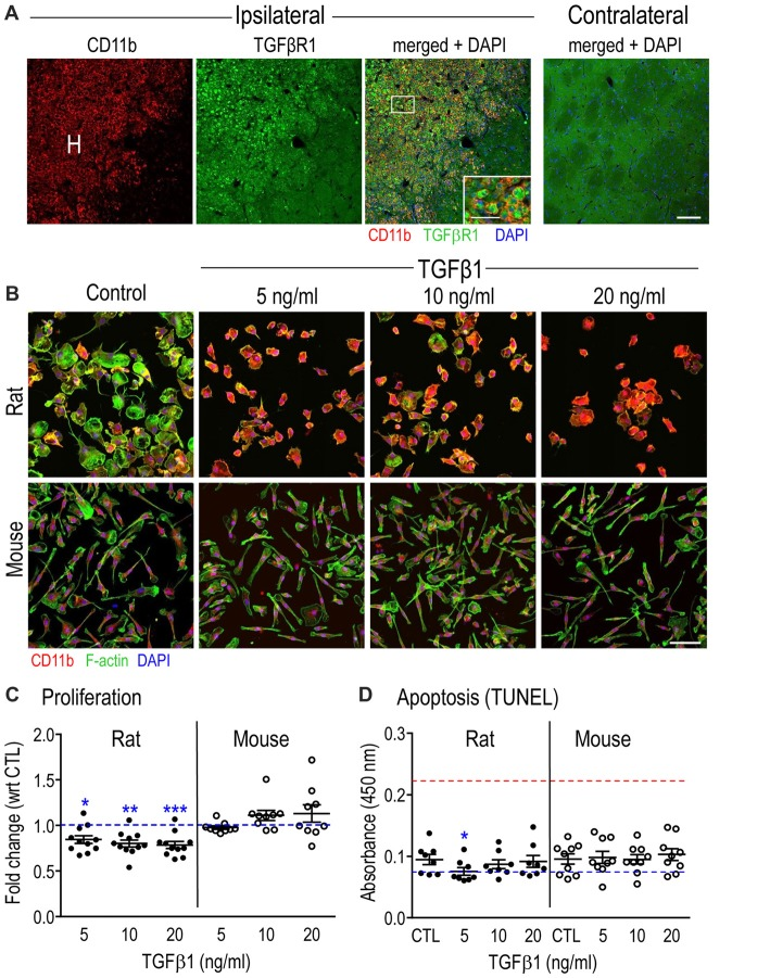 Transforming growth factor β1 (TGFβ1) receptor in microglia after Intracerebral hemorrhage (ICH), and general effects of TGFβ1 on microglia in vitro . (A) Microglia/macrophages increase in the hematoma (H) after ICH and express TGFβR1. Representative confocal micrographs taken at 7 days in the damaged ipsilateral rat striatum (left) and the undamaged contralateral striatum (right). The inset is a higher magnification image of the boxed area (scale bar, 20 μm) showing microglia and infiltrating macrophages in the hematoma labeled with CD11b (OX-42 antibody; red) and TGFβR1 (green). Cell nuclei are labeled with 4'-6-diamidino-2-phenylindole (DAPI; blue). Scale bar for main images is 100 μm. (B) The morphology of isolated microglia (stained for CD11b, red, as in (A) was assessed using phalloidin to stain F-actin (green) and DAPI (blue) to label nuclei. Images are representative of results from six separate cell cultures for each species. Scale bar is 100 μm. (C) Microglia proliferation was determined 24 h after TGFβ1 treatment using the CyQUANT™ assay. Results are shown as fold-change with respect to untreated (control, CTL) microglia (blue dashed line) and expressed as mean ± SEM for 9–11 individual cell cultures. (D) Apoptosis was monitored using the TiterTACS™ colorimetric assay at 24 h after TGFβ1 treatment. Results are shown as mean absorbance at 450 nm (mean ± SEM, 8–9 individual cultures). The blue dashed line indicates values for the negative controls, and the red dashed line indicates the positive controls. Significant differences are shown between control and TGFβ1 treated cells (*). One symbol of indicates p