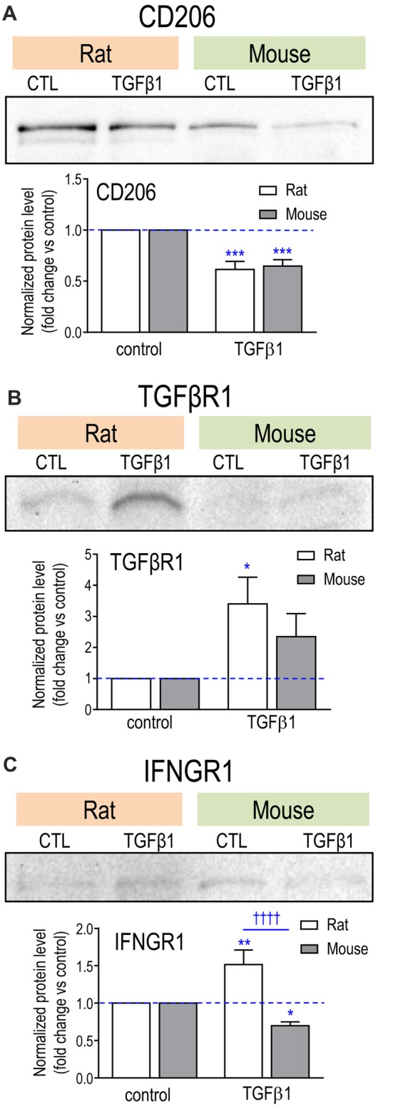 Effect of TGFβ1 treatment on protein levels for exemplary molecules. (A) CD206; (B) TGFβR1; (C) IFNGR1. Microglia were unstimulated (CTL, control) or stimulated with TGFβ1 for 24 h. Representative Western blots, with both species on the same gel. For each blot, the band of interest was normalized to total protein in that lane (Coomassie blue staining), and then the fold-changes were calculated with respect to unstimulated (control) microglia (mean ± SEM; 4–7 individual cultures for mouse, 5–6 for rat). Significant differences are shown between control and TGFβ1 treated cells (*), and between species (†). One symbol of either type indicates p