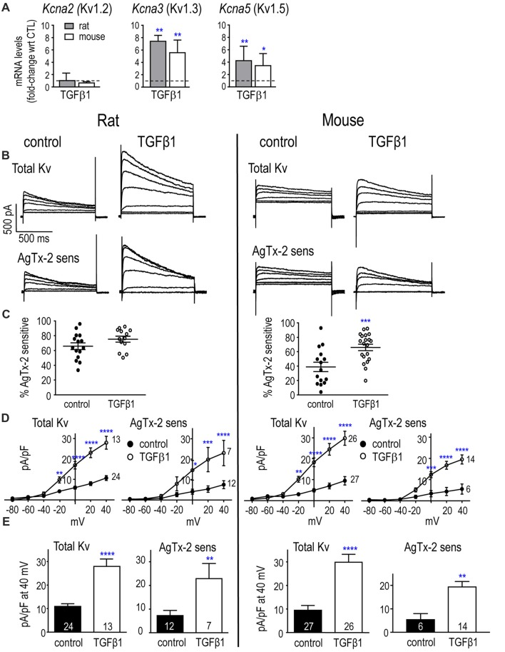 In neonatal rat and mouse microglia, TGFβ1 increases Kcna3 mRNA expression and Kv1.3 current. (A) Transcript expression of selected Kv1-family channel members. Rat and mouse microglia were unstimulated (control) or stimulated with TGFβ1 for 24 h (expression data) or 30 h (whole-cell recordings). mRNA expression (mRNA counts/200 ng total RNA) was determined by NanoString and expressed as fold-change relative to unstimulated control cells (mean ± SEM; n = 4–6 individual cultures). (B) Representative whole-cell Kv currents in control (untreated) microglia, and in TGFβ1-treated cells. The voltage clamp protocol consisted of 1 s-long voltage steps from −80 mV to +40 mV in 20 mV increments, applied every 60 s from a holding potential of −100 mV. Then, for each cell, 5 nM AgTx-2 was perfused into the bath to record the AgTx-2-insensitive component, which was then subtracted from the total current to yield the Kv1.3 current. (C) Scatter plot of individual cells showing the proportion of the peak current (at +40 mV) that was blocked by AgTx-2. (D) Peak current density (pA/pF) as a function of voltage for the total Kv current and the AgTx-2-sensitive Kv1.3 component. Data are shown as mean ± SEM for the number of cells indicated. (E) Summary of current density (pA/pF) measured at +40 mV. For all graphs, one symbol indicates p