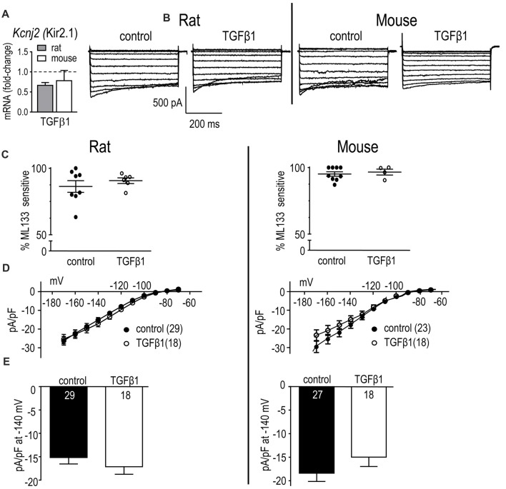 In neonatal rat and mouse microglia, TGFβ1 did not affect Kcnj2 mRNA expression or Kir2.1 current. Microglia were unstimulated (control) or treated with TGFβ1 for 24 h (expression data) or 30 h (whole-cell recordings). (A) mRNA expression. Data are expressed as fold-change relative to control (unstimulated) microglia (mean ± SEM of 4–6 individual cultures). (B) Inward-rectifier (Kir) current. Representative traces of total inward current in control microglia, and in TGFβ1-treated cells. Whole-cell currents were recorded in response to 500 ms-long voltage steps between −170 mV and −70 mV in 10 mV increments from a holding potential of −20 mV. (C) Scatterplot of individual cells showing the proportion of the peak current (at −140 mV) that was blocked by 20 μM ML133. (D) Peak Kir2.1 current density (pA/pF) as a function of voltage. Data are shown as mean ± SEM for the number of cells indicated. (E) Summary of peak inward current density (pA/pF) measured at −140 mV. There were no significant TGFβ1 effects at the p