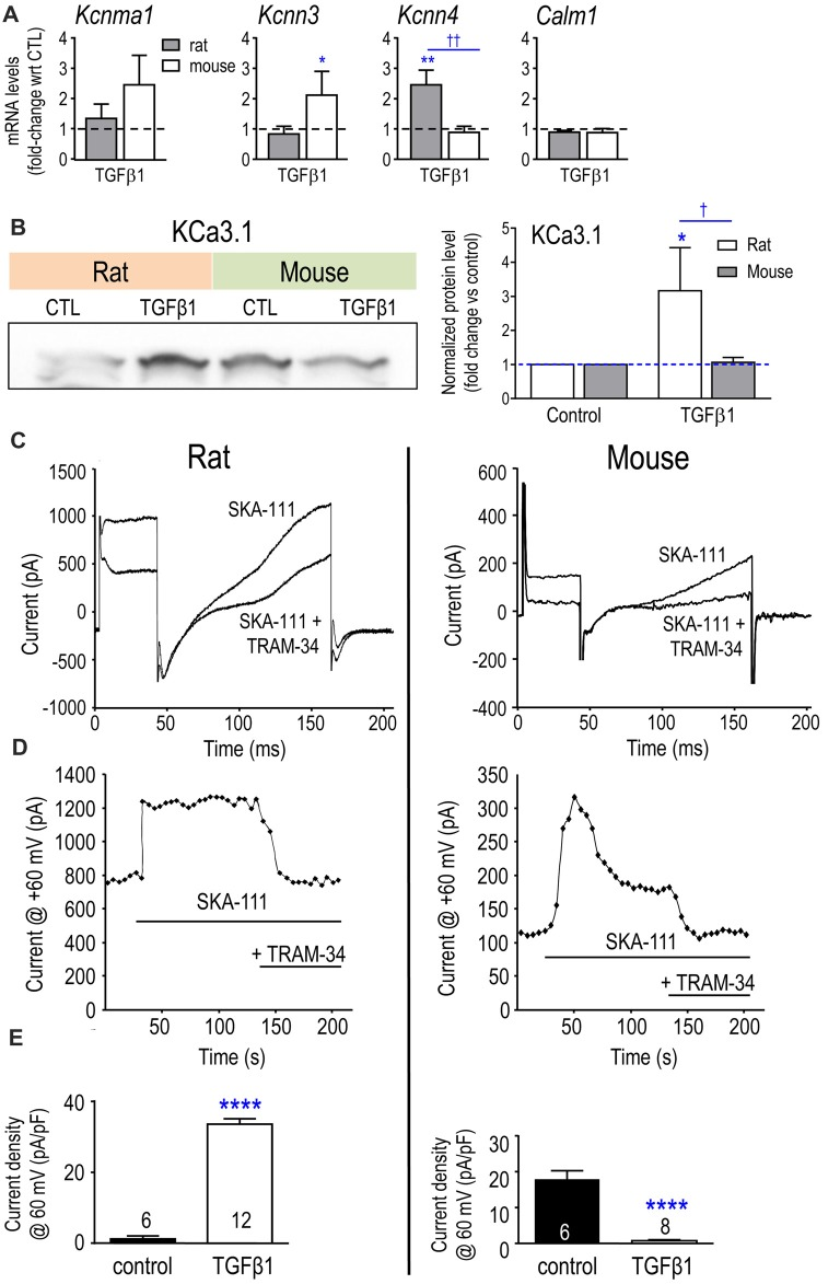 Expression of Kcnn4 mRNA, KCa3.1 protein and current are differently affected by TGFβ1 in neonatal rat and mouse microglia. (A) Transcript expression of the Ca 2+ -activated K + channels (mean ± SEM; 4–6 individual cultures): Kcnma1 (KCa1.1/BK/maxi-K), Kcnn3 (KCa2.3/SK3), Kcnn4 (KCa3.1/SK4) and the regulatory molecule, calmodulin ( Calm1 ). (B) Representative Western blot of KCa3.1 with both species on the same gel. Quantification resulting from normalization of each KCa3.1 band to total protein (Coomassie blue staining) in each lane. Fold changes were calculated with respect to unstimulated (control) microglia (mean ± SEM; 4–7 individual cultures for mouse, 5–6 for rat). For remaining figure, left panels represent neonatal rat microglia; right panels, neonatal mouse microglia. (C) Representative whole-cell recording showing KCa3.1 current evoked by the positive gating modulator, SKA-111 (1 μM), followed by inhibition by the blocker, 1 μM TRAM-34. From a holding potential of −90 mV, the voltage was stepped to +30 mV, followed by a ramp from −120 mV to +60 mV. (D) Examples of the time course, showing activation by the positive-gating modulator, SKA-111, and inhibition by the blocker, TRAM-34. (E) Summary of KCa3.1 current activation (i.e., the TRAM-34-sensitive component) in control cells vs. TGFβ1-treated microglia. Significant differences are shown between control and TGFβ1 treated cells (*), and between species (†). One symbol of either type indicates p