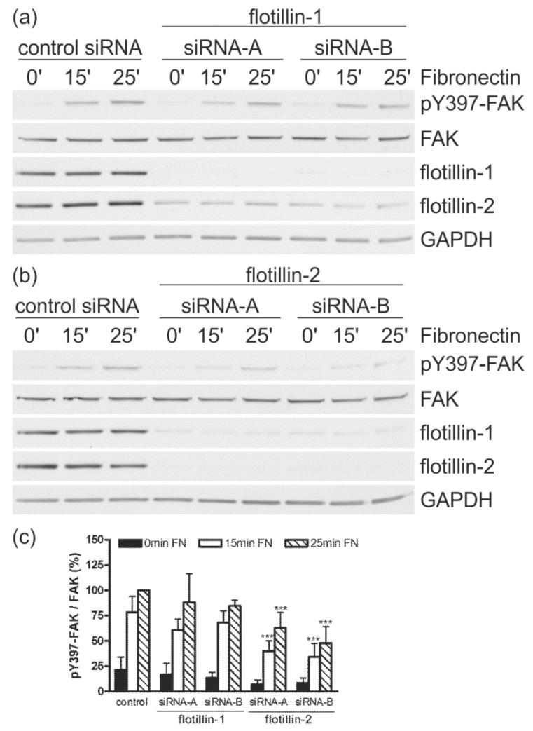 Transfection with siRNAs against flotillin-2 but not against flotillin-1 reduces autophosphorylation of FAK. HeLa cells were transfected with the indicated siRNAs. The cells were detached, kept in suspension, and then seeded on fibronectin for different times as indicated. Autophosphorylation of FAK was measured by Western blot with a phospho-site-specific antibody (pY397-FAK) in flotillin-1 ( a ) or flotillin-2 ( b ) siRNA-transfected cells. GAPDH and FAK were used as equal loading controls. ( c ) For quantification, the pY397-FAK signal in each sample was first normalized to the total FAK signal. The highest phosphorylation value (control, 25 min FN) was used as the reference and set to 100%, to which all other values were correlated. The bars represent the mean ± SD of at least four independent experiments. For statistical analysis, the significance of each value against the corresponding control value is shown ( n ≥ 4, *** p