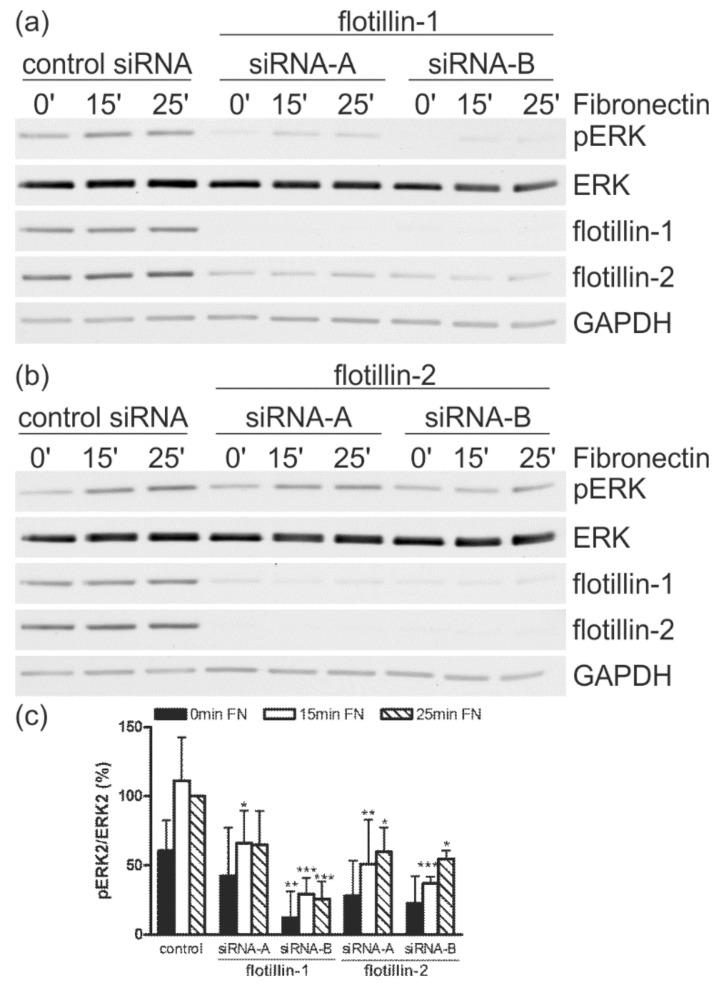 Transfection with siRNAs against flotillin-1 or flotillin-2 reduces ERK2 activation upon integrin stimulation. HeLa cells were transfected with the indicated siRNAs against ( a ) flotillin-1 or ( b ) flotillin-2, or with a control siRNA. The cells were detached, kept in suspension, and then seeded on fibronectin for the indicated time points. ( c ) For quantification, the value for the control siRNA cells (25 min) was used as a reference sample and set to 100%. The phospho- (p)ERK signal in each sample was first normalized to the total ERK signal and then correlated to the reference sample. The bars represent the mean ± SD of at least three independent experiments. For statistical analysis, the significance of each value against the corresponding control value is shown ( n ≥ 3, * p