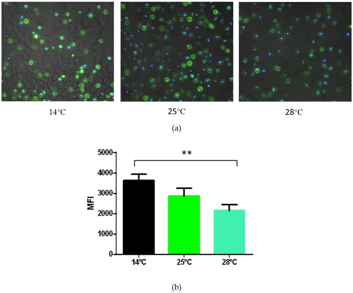 Phosphatidylserine expression on the membrane of RBCs and shRBCs. Ficoll-purified RBCs and shRBCs were obtained after incubation of RBCs at 14 °C, 25 °C and 28 °C, for 6 days. ( a ) Representative fluorescence microscopy images stained with annexin V and DAPI. ( b ) Mean fluorescence intensity (MFI) of annexin staining levels by flow cytometry. Data represent mean ± SD (n = 4). Kruskal–Wallis Test with Dunn's Multiple Comparison post-hoc test was performed among all conditions. ** p -value