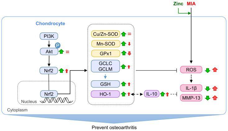 Schematic diagram of zinc effects on MIA-treated chondrocytes. The results of the present study demonstrates that zinc can protect against MIA-increased oxidative stress, pro-inflammatory cytokines (IL-1β), and MMPs through the activation of the Akt/Nrf2 pathway, which upregulates the gene expression of antioxidants, such as Cu/Zn-SOD, Mn-SOD, GPx1, GSH, GCLC and GCLM, and HO-1, leading to the increased antioxidative capacity in defense against MIA-induced oxidative stress. In addition, IL-10 expression is relatively slightly increased by MIA and massively increased after zinc addition, leading to decreased IL-1β and MMPs expression and increased HO-1 expression. Red↑: enhanced by MIA; Red↓: decreased by MIA; Red=: did not change by MIA; Green↑: enhanced by zinc; Green↓: decreased by zinc.