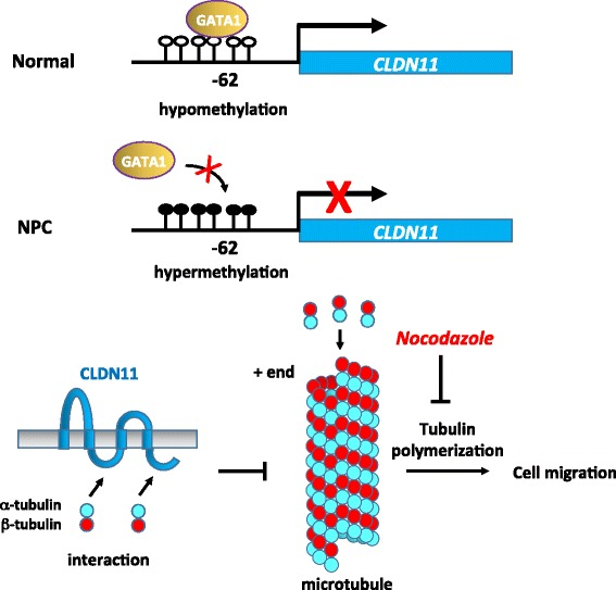 A Model for transcriptional silencing of CLDN11 through hypermethylation promotes migration by derepression of tubulin polymerization. In a normal nasopharynx, CLDN11 is transcriptionally activated by transcription activators, GATA1 and GATA2. The integral membrane tight junction protein CLDN11, expressed on the apical surface of the epithelial cells, maintains tight junction integrity and epithelial cell polarity and morphology. In addition, CLDN11 serves as the scaffold to recruit tubulins through its intracellular loop and C-terminal domains. The interaction between CLDN11 and the tubulins TUBA1B and TUBB3 may sequester the availability of α- and β-tubulin subunits in the cytoplasm. Thus, the presence of CLDN11 may prevent cell migration and invasion by interfering with the microtubule polymerization dynamics. By contrast, in NPC cells, aberrant promoter hypermethylation impairs GATA binding and causes transcriptional silencing of CLDN11 . In the absence of CLDN11, microtubules undergo rapid polymerization, in turn promoting basement membrane breakdown, motility, invasiveness, plasticity, and cell cycle, thus contributing to a more cancerous phenotype of NPC cells. The tubulin polymerization inhibitor nocodazole can serve as a therapeutic drug to block migration in NPC