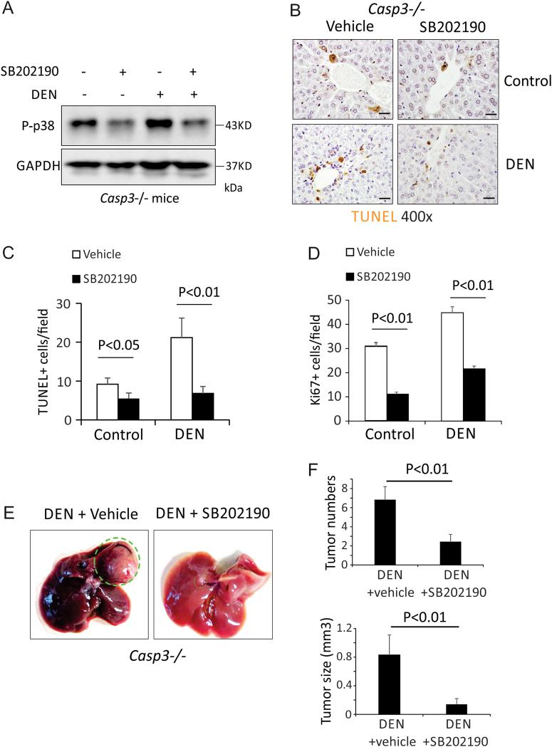 Inhibition of p38 abrogated enhanced DEN-induced hepatocyte death, compensatory proliferation and HCC development induced by deletion of Caspase-3 . a Expression of p-p38 and GAPDH proteins in the livers of Caspase-3 KO mice 3 days following injection with either saline (Un) or 100 mg/kg DEN plus 20 mg/kg SB202190 was analyzed by western blotting. b Apoptosis in the livers of Caspase-3 KO mice 3 days following injection with either saline (Un) or 100 mg/kg DEN plus 20 mg/kg SB202190 was analyzed by TUNEL staining. Bars: 20 µM. c Quantification of TUNEL staining for ( b ) ( n = 3). d Quantification of Ki67 staining in the livers of Caspase-3 KO mice 3 days after injection with either saline (Un) or 100 mg/kg DEN plus 20 mg/kg SB202190. e Photographs of livers of WT and Caspase-3 KO mice 9 months after DEN injection with or without SB202190. f Quantification of liver tumor numbers ( n = 5) and liver tumor sizes ( n = 5) for ( e ). Values in ( c ), ( d ) and ( f ) are means ± SDs