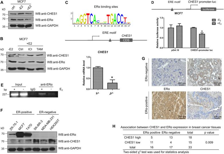 CHES1 expression was repressed by E 2 -ERα pathway in breast cancer. a Western blotting tested the protein expression of CHES1 and ERα in MCF7 cells with or without E 2 treatment. b Immunoblotting of CHES1 and ERα in MCF7 cells treated with or without 100 nM E 2 , 1 nM 4-Hydroxytamoxifen, and 0.1 μM ICI 182780. c Schematic representation of conserved ERα-binding motif and ERE site on CHES1 potential promoter region, real-time PCR assay tested the mRNA level of CHES1 in MCF7 cells treated with or without E 2 . d Schematic representation of CHES1 -promoter luc construction. Luciferase reporter assay showed that the activity of CHES1 -promoter luc was repressed in MCF7 cells when treated with E 2 stimulation. * P