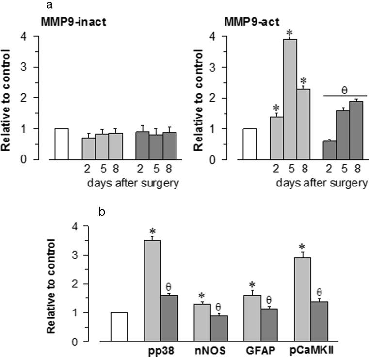 Stimulation of <t>MMP-9</t> protein expression and inflammatory markers via pMCAO. a The expression levels of both the active (86 kDa) and the inactive (92 kDa) forms of MMP-9 were determined at different times after surgery. b The ischaemic-induced phosphorylation of p38 and CaMKII as well as the expression levels of nNOS and GFAP were evaluated 8 days after surgery. The enhancing effects of pMCAO ( light grey ) were reduced by S1RA administration ( dark grey ). Each bar represents the means ± SEM of the data from three determinations performed using different gels and blots. Groups of 8–10 mice were used for each interval. Immunosignals (average optical density of the pixels within the object area/mm 2 ; Quantity One Software, Bio-Rad, Madrid, Spain) were expressed as the change relative to the sham-operated group (attributed an arbitrary value of 1; white bars ). Asterisk denotes the significant difference from the sham-operated mice, θ from the pMCAO group, all pairwise Holm-Sidak multiple comparison test following ANOVA, p