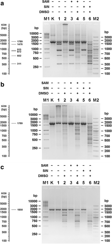 TthHB27I cofactor/analogue-induced 'star' activity towards methylated or non-methylated substrate DNA. 0.5 μg of methylated or non-methylated PCR DNA fragment (see Additional file 1 ) was digested with 2 U of TthHB27I in REase buffer supplemented with 100 μM of the selected effector and 25% (v/v) DMSO at 65 °C. The pictures on the right side of the figure's panels show the theoretical arrangement of the DNA bands in an agarose gel after digesting the given substrate DNA with TthHB27I under standard conditions. a Cleavage pattern of non-methylated 1789 bp PCR fragment DNA. Lane M1, GeneRuler 1 kb DNA Ladder; lane M2, 100 bp Plus DNA Ladder, lane K, untreated DNA; lane 1, cleavage reaction in the absence of effector and DMSO; lane 2, in the presence of DMSO only; lane 3, in the presence of SAM only; lane 4, in the presence of SAM and DMSO; lane 5, in the presence of SIN only; lane 6, in the presence of SIN and DMSO. b The same as ( a ), but with previously methylated 1789 bp PCR fragment. c The same as ( a ), but with 1850 bp PCR fragment without TthHB27I cognate recognition sequence