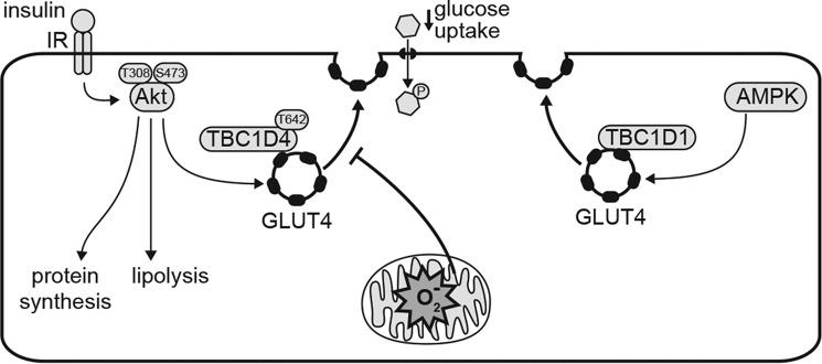 Mitochondrial oxidants induces selective insulin resistance. MitoPQ generates oxidants (O 2 ˙̄ and H 2 O 2 ; denoted by O 2 ˙̄ ) in the mitochondrial matrix without impairing oxidative phosphorylation. Mitochondrial oxidants inhibit insulin-stimulated GLUT4 translocation and glucose uptake in adipocytes and myocytes, but AMPK-stimulated GLUT4 translocation is not impaired. MitoPQ did not impair insulin signaling to TBC1D4 or Akt-mediated activation of protein synthesis and inhibition of lipolysis, indicating that mitochondrial oxidants impair processes downstream of TBC1D4 phosphorylation in the insulin-regulated GLUT4 trafficking pathway.