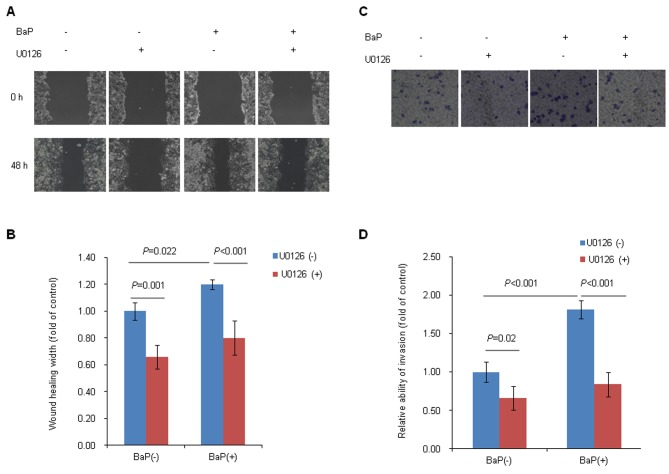 ERK activation is required for BaP-induced Hep-G2 cell migration and invasion. Wound-healing assay was (A) performed and (B) quantified to evaluate the potential role of p-ERK in BaP-induced Hep-G2 cell migration. Cells were wounded by scratching and cultured in the presence of BaP (4 µM) or U0126 (20 µM) for 48 h. Images were captured at 0 and 48 h. The healing width was calculated as the wound width at 0 h minus the wound width at 48 h and was normalized to the control. Values are expressed as the mean ± standard deviation. Transwell invasion assay was (C) performed and (D) quantified to assess the potential role of p-ERK in BaP-induced Hep-G2 cell invasion. Cells were harvested and seeded into the upper chamber with Matrigel and were cultured in the presence of BaP (4 µM) or U0126 (20 µM) for 24 h. The number of migrated cells was counted and normalized to the control. Values are expressed as mean ± standard deviation. ERK, extracellular signal-regulated kinase; BaP, benzo(a)pyrene; p-ERK, phosphorylated ERK.