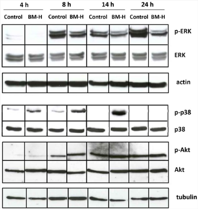 Time-course effects of BM-H on MAPK pathway. Western blot bands represent phosphorylated ERK (p-ERK), total ERK (ERK), actin (as a housekeeping gene for ERK), phosphorylated p38 (p-p38), total p38 (p38), phosphorylated Akt (p-Akt), total Akt (Akt), and the housekeeping gene tubulin (to control both p-38 and Akt). Proteins were extracted from OCI cells treated with the vehicle (control) or with BM-H (BM-H) after 4, 8, 14, or 24 hours. Western blots are representative of 3 independent experiments.