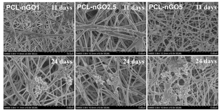 SEM images of PCL-nGO1, PCL-nGO2.5, and PCL-nGO5 fibers after 11 and 24 days of mineralization in SBF.