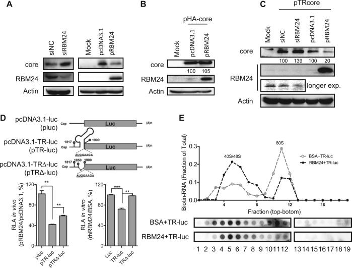 RBM24 inhibits the translation of the core protein by binding to the 5′ TR of pgRNA and blocking 80S ribosome assembly on HBV pgRNA. a The HepG2.2.15 cell line was transfected with siNC or siRBM24 (left panels), HepG2 cells were co-transfected with pHY106 and pRBM24 or empty vector (right panels). Cell lysates were collected at 48 hpt, and the expression of core and RBM24 was detected by western blotting. b HepG2 cells were co-transfected with pHA-core and pRBM24 or empty vector, and the expression of core and RBM24 was detected by western blotting. c HepG2 cells were co-transfected with pTR-core and the indicated siRNA or plasmid and harvested at 48 hpt. The expression of core and RBM24 was detected by western blotting. d HepG2 cells were transfected with the indicated plasmids, and luciferase activity was determined with Steady-Glo ® . The relative luciferase activity (RLA) values were calculated and are shown in the bar graph on the left. The luciferase activity of 5′ TR-associated luciferase reporter plasmids in vitro was detected (bar graph on the right). e The 5′ TR-luciferase RNA together with rhRBM24 or BSA was incubated in rabbit reticulocyte lysate (RRL). The ribosome complexes were separated by sucrose gradient ultracentrifugation. The distribution of biotin-RNA was detected using a dot-blot assay