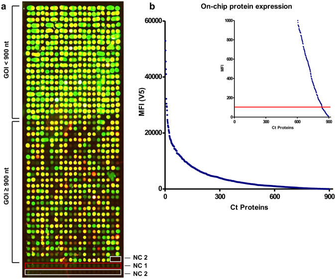 Microarray displaying the whole-proteome of Ct. ( a ) Results of the determination of on-chip protein expression using antibody staining against the terminal tags (green signal: anti-V5 antibody; red signal: anti-His antibody; yellow signal: overlay of both signals). All 898 proteins were spotted onto one array. The last 22 spots indicated by red and white frames represent the negative controls NC1 and NC2, respectively. The upper part of the array comprised genes of interest (GOI) with a DNA template length of up to 900 bp. ( b ) Final MFI values obtained by the anti-V5 antibody were sorted in descending order and plotted against the overall number of Ct proteins. The calculated cut-off (100 MFI) is represented by a red line, indicating that less than 10% of all proteins are below the cut-off and are therefore considered not to be expressed in full length.