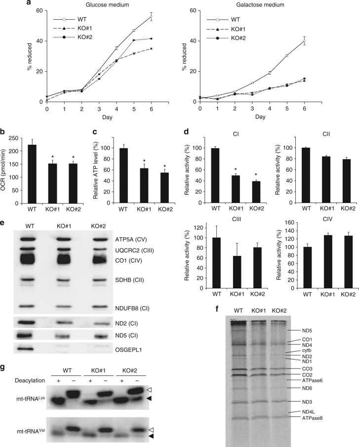 Mitochondrial dysfunction in OSGE P L1 KO cells. a Growth curves for WT HEK293T, OSGE P L1 KO#1, and OSGE P L1 KO#2 cells cultured in the presence of glucose (left) or galactose (right) as the primary carbon source. Mean values ± s.e.m. of four independent cultures are plotted. b Oxygen consumption rates of WT, OSGE P L1 KO#1, and OSGE P L1 KO#2 cells measured using an XFp extracellular flux analyzer. Mean values ± s.d. of biological triplicates are compared. * P
