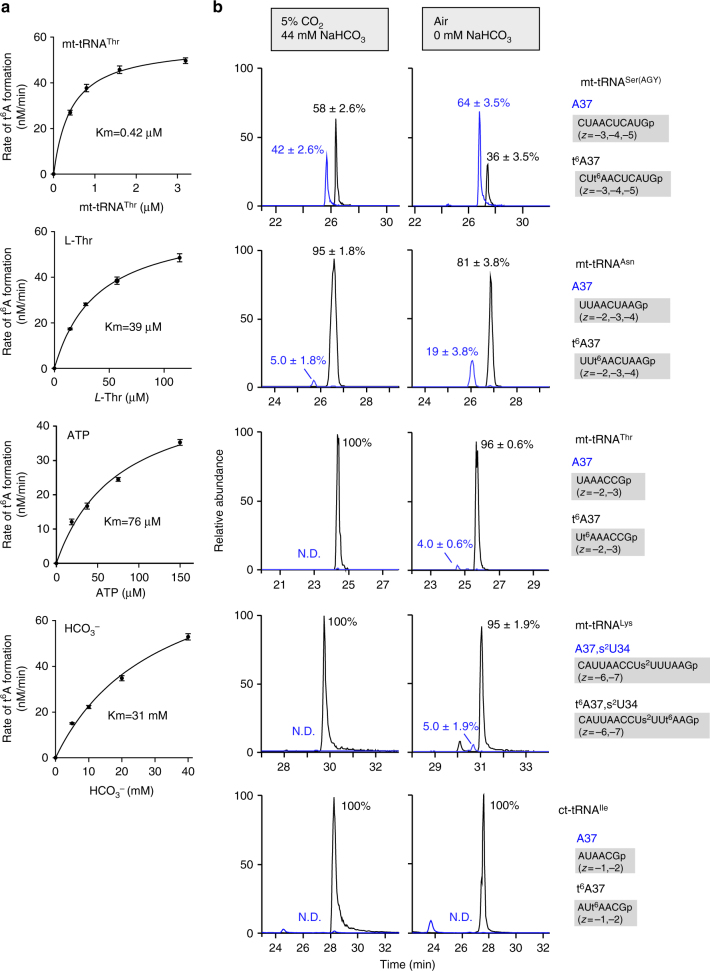 Mitochondrial t 6 A37 formation is sensitive to intracellular bicarbonate concentration. a Kinetic analyses of mitochondrial t 6 A37 formation mediated by YRDC and OSGEPL1. Initial velocities of t 6 A37 formation were measured against variable concentrations of mt-tRNA Thr , L -Thr, ATP, and bicarbonate. Km values for each substrate are indicated. b Hypomodification of t 6 A37 in mt-tRNAs in <t>HEK293T</t> cells cultured in non-bicarbonate medium. XICs generated by integration of multiply-charged negative ions of A37-containing fragments of mt-tRNA Ser(AGY) (top panels), mt-tRNA Asn (second panels), mt-tRNA Thr (third panels), mt-tRNA Lys with s 2 U34 (fourth panels) and ct-tRNA Ile (bottom panels) bearing A37 (blue) and t 6 A37 (black) (Supplementary Table 1 ) isolated from HEK293T cells cultured with normal DMEM medium (44 mM NaHCO 3 ) in 5% CO 2 (left panels) and non-bicarbonate medium in air (right panels). mt-tRNA Ser(AGY) and other tRNAs were isolated from the cells cultured for 6 and 3 days, respectively. t 6 A frequencies (%) are described as mean values ± s.d. of technical triplicate