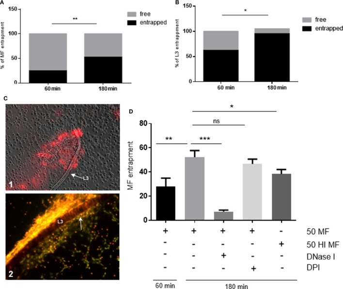 """Dirofilaria immitis- induced parasite entrapment. Canine polymorphonuclear neutrophils (PMN) were exposed to vital D. immitis microfilariae (A) or L3 (B,C) for 60 and 180 min. (D) In parallel settings, the same number of PMN was incubated either with heat-inactivated (HI) microfilariae (HI MF) or pretreated with diphenyleneiodonium (DPI) before exposure to vital microfilariae. Furthermore, DNase I was added at the moment of exposure to vital microfilariae. Larvae were considered as entrapped when PMN and/or PMN-derived neutrophil extracellular traps (NETs) were in contact with larvae. The data are expressed as percentage of entrapped larvae relative to the total amount of larvae per condition. The formation of """"clasp""""-like NET structures sticking mainly to the anterior part of the larvae is displayed in white arrow: image [ (C) , 2]."""