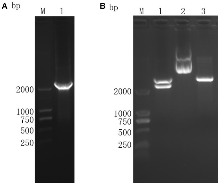 Agarose gel electrophoresis of TgROP21 ORF and identification of recombinant plasmid pVAX-TgROP21 digested by Kpn I and ECO RI. (A) (Lane M) DNA molecular weight marker DL 2000 (ordinate values in bp); (Lane 1) the ORF of TgROP21. (B) (Lane M) DNA molecular weight marker DL 2000 (ordinate values in bp); (Lane 1) the recombinant plasmid pVAX-TgROP21 digested by Kpn I and ECO RI; (Lane 2) the recombinant plasmid pVAX-TgROP21; (Lane 3) the plasmid of pVAXI vector digested by Kpn I and ECO RI.