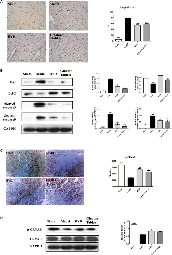 BYD inhibited apoptosis and increased CRYAB in HF post-AMI rats.  (A)  TUNEL results showed that BYD attenuated the apoptosis of cardiomyocytes.  (B)  Western blot analysis showed that BYD decreased the expression of Bax, cleaved-caspase 9 and cleaved-caspase 3 and increased the expressions of Bcl-2 in cardiac tissue compared with that in the model group.  (C)  Immunohistochemistry results showed that BYD up-regulated the expression of p-CRYAB in cardiac tissue.  (D)  Western blot analysis results showed that BYD up-regulated the expression of p-CRYAB in cardiac tissue compared with that in the model group. The same GAPDH band was selected due to reusing the membrane by stripping solution. All the data were presented as the means ± SEM from independent experiments performed in triplicate.  ∗ P