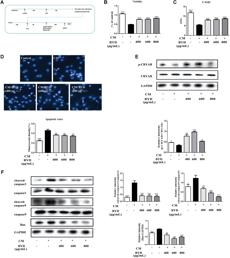 BYD inhibits apoptosis in CM-induced H9C2 cells.  (A)  Flow diagram of CM-induced H9C2 cell injury.  (B)  BYD showed a significant protective effect on CM-induced H9C2 cell injury.  (C)  BYD could increase the release of T-SOD from H9C2 injuried by CM.  (D)  Hoechst 33258 staining results showed that BYD attenuated apoptosis in CM-induced H9C2 cells.  (E)  BYD could up-regulate the expression of p-CRYAB  in vitro .  (F)  Different doses of BYD treatments down-regulated the increased expression of Bax, cleaved-caspase 9 and cleaved-caspase 3 compared with that in the model group. The same GAPDH band was selected due to reusing the membrane by stripping solution. All the data were presented as the means ± SEM from independent experiments performed in triplicate.  ∗ P