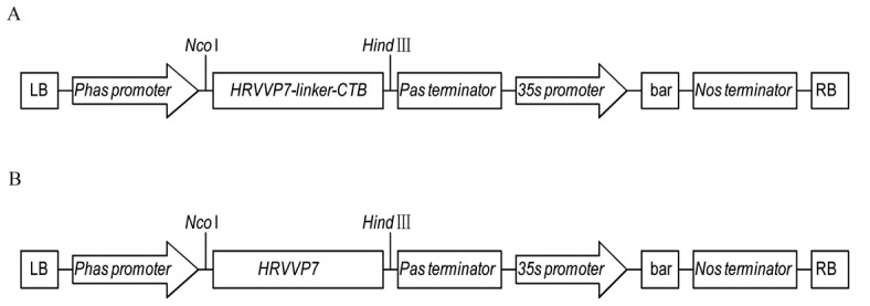 Schematic of plant expression plasmids pPHAP1301-HRVVP7-CTB and pPHAP1301-HRVVP7. bar encodes a resistance marker for glufosinate selection. (A) HRVVP7 coding sequence. (Gly 4 Ser) 3 is the linker between HRVVP7 and CTB . (B) HRVVP7 coding sequence. HRVVP7, human rotavirus VP7; CTB, cholera toxin B subunit; Phas , β-phaseolin storage protein; 35s, Cauliflower mosaic virus; LB, left border; RB, right border; nos , nopaline synthase.
