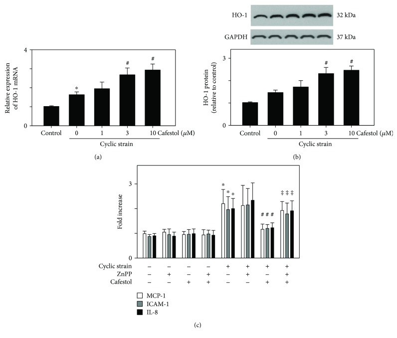 Effects of cafestol on HO-1 expression in the presence of cyclic strain treatment. HUVECs were treated with cafestol 12 h prior to cyclic strain treatment for 12 h. (a) The mRNA level of HO-1 was analyzed through qPCR and normalized to GAPDH. (b) Immunoblotting of HO-1 and GAPDH was performed, and the bands were quantitated using ImageJ. The data represent the mean ± SEM of three independent experiments. ∗ P