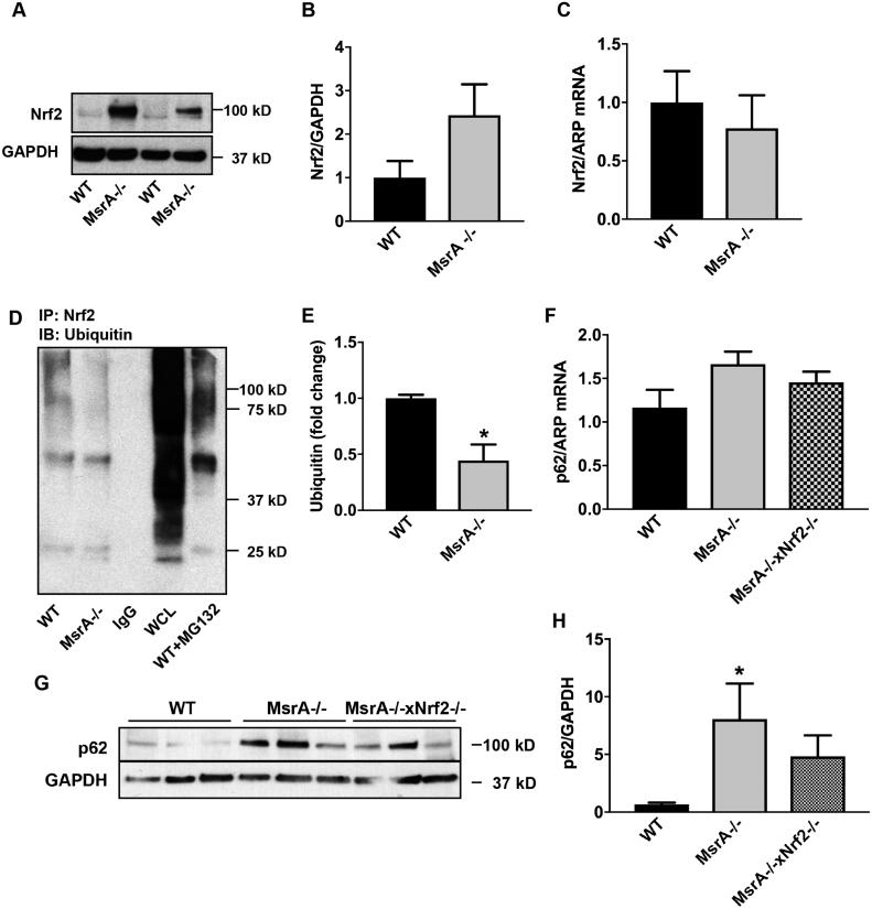 Elevated Nrf2 protein expression under MsrA deficiency is due to protein stabilization rather than increased transcription. (A, B) Representative immunoblot (A) and quantification (B) for Nrf2 protein levels in whole cell lysates from MsrA-/- and WT VSMC; n = 3 biological replicates. (C) Nrf2 mRNA levels in VSMC by qRT-PCR; n = 5 biological replicates. (D) Representative immunoprecipitation of Nrf2 followed by immunoblot for ubiquitin in MsrA-/- and WT VSMC. IgG: IP with IgG, WT + MC132: IP with anti-Nrf2 in WT VSMC incubated with MG132, WCL: whole cell lysate of WT VSMC as controls. (E) Quantification of (D); n = 7 biological replicates. (F) p62 mRNA levels by qRT-PCR in aortic samples WT, MsrA-/- and MsrA-/- x Nrf2-/- mice; n = 7, 9 biological replicates. (G) Representative Immunoblots for Nrf2 and GAPDH in aortic samples from WT, MsrA-/- and MsrA-/- x Nrf2-/- mice. (H) Quantification of (G) n = 7 biological replicates. (E) * p