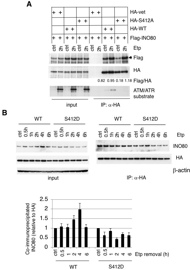 Examination of the interaction between ARP8 and INO80. ( A ) Examination of the interaction between INO80 and wild-type ARP8 or phospho-deficient ARP8. U2OS cells were co-transfected with Flag-INO80 and HA (vet), HA-ARP8 (WT), or HA-ARP8 S412A vectors, respectively, for 48 hr and subsequently treated with DMSO (ctrl) or etoposide for 15 min, washed, and then cultured in fresh medium for 2 hr. The immunoprecipitation analysis was performed using anti-HA antibodies. The precipitates were electrophoresed through a gel and probed by western blotting with an anti-Flag or an anti-HA or anti-ATM/ATR substrate antibody. The co-immunoprecipitated amounts of Flag-INO80 relative to HA-ARP8 are shown. Quantitative analysis was performed using the Image J software. ( B ) Co-immunoprecipitation analysis of ARP8 and INO80. ATM-deficient BIVA cells were co-transfected with the siARP8 and siARP8-resistant HA-tagged wild-type ARP8 or phospho-mimetic S412D ARP8 mutant. After etoposide removal, the cells were recovered at the indicated time points. The nuclear extracts were incubated with anti-HA-conjugated anti-mouse IgG Dynabeads. The precipitates were electrophoresed through a gel and probed by western blotting with either an anti-INO80 antibody or an anti-HA antibody. The amounts of INO80 and HA-ARP8 were quantified, using the Image J software. The results of quantitative analysis are shown as the relative values as compared to the DMSO control, from three independent experiments. Source data are presented in Figure 3—source data 2 .
