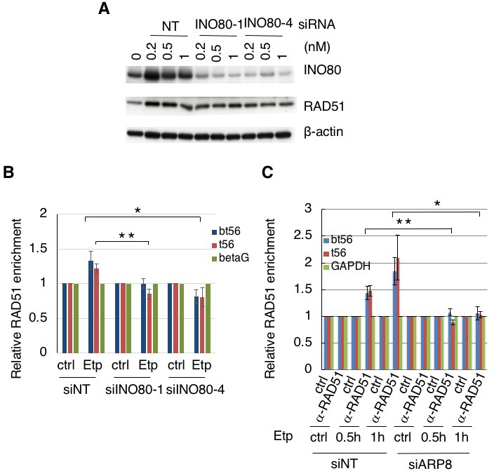Requirement of INO80 and ARP8 for RAD51 binding to the BCR of the MLL gene. ( A ) Immunoblotting analysis of INO80 depletion efficiency. Two kinds of siRNAs against INO80 were used for the detection of the INO80 knockdown efficiency. RAD51 expression did not affect the INO80 knockdown. β−actin was used as the loading control. ( B ) ChIP analysis of the enrichment of RAD51 in AT5BIVA cells treated with non-targeting siRNA (siNT) or the siRNAs against INO80 (siINO80-1 and siINO80-4). The cells were treated with etoposide for 15 min, washed, and then cultured in fresh medium for 1 hr (Etp). Vehicle treatment was performed as a control. The DNA was analyzed by real-time PCR, using the MLL BCR gene primers. The β−globin gene (betaG) was used as a control region. Values represent the means ± SE from six independent experiments. *p