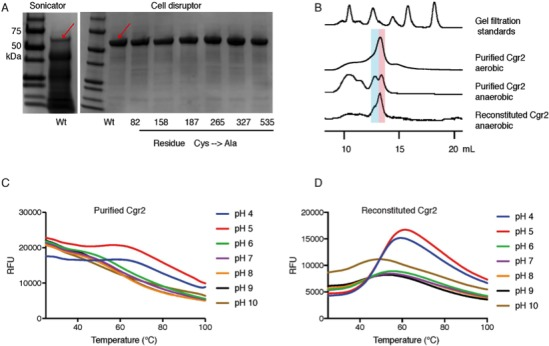 [Fe-S] cluster(s) affect Cgr2 stability and oligomerization. ( A ) SDS-PAGE analysis of heterologously expressed Cgr2(–48aa)-NHis 6 constructs (expected mass = 55 kDa) purified on HisPur Ni-NTA resin. Heat-generating lysis methods (e.g. sonication) led to substantial protein degradation as compared to cell disruption. ( B ) Analytical fast protein liquid chromatography (FPLC) performed under aerobic and anaerobic conditions. Colored bars highlight molecular weights corresponding to dimeric (blue) or monomeric (pink) Cgr2. ( C ) Thermal melt curves displaying relative fluorescence of Sypro Orange bound to purified and ( D ) reconstituted Cgr2 in various pH buffers. Protein melting temperature (Tm) of purified protein was