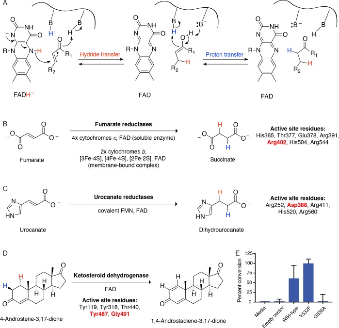 Cgr2 is a distinct flavoprotein reductase. ( A ) General mechanism of catalysis by Cgr2 homologs. Cgr2 appeared to lack most of the conserved active site residues found in the most similar related enzymes, including ( B ) 6/7 residues utilized by fumarate reductases, ( C ) 4/5 residues utilized by urocanate reductases, and ( D ) 3/5 residues utilized by ketosteroid dehydrogenases. Active site residues are shown with numbering based on S. putrefaciens fumarate reductase, S. oneidensis MR-1 urocanate reductase, and R. erythropolis SQ1 ketosteroid dehydrogenase. Residues shown in red were conserved in Cgr2. ( E ) Two residues involved in substrate binding and activation in ketosteroid dehydrogenases were conserved in Cgr2 (Y532, G536). Whole cell assays in R. erythropolis overexpressing putative active site mutants in Cgr2 showed that Y532 was not essential for Cgr2 activity towards digoxin. Data represents mean ± SEM (n = 3 biological replicates).