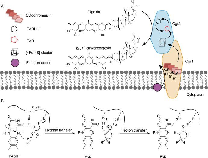 Preliminary model for digoxin metabolism by Cgr1 and Cgr2. ( A ) Proposed biochemical model and ( B ) mechanism of digoxin reduction by Cgr proteins. Cgr1 is predicted to transfer electrons from a membrane-associated electron donor to the [4Fe-4S] 2+ cluster of Cgr2 via covalently bound heme groups. The reduced [4Fe-4S] 1+ cluster of Cgr2 could sequentially transfer two electrons to FAD, generating FADH – , which could mediate hydride transfer to the β-position of the digoxin lactone ring. Protonation of the resulting intermediate would yield (20 R )-dihydrodigoxin.