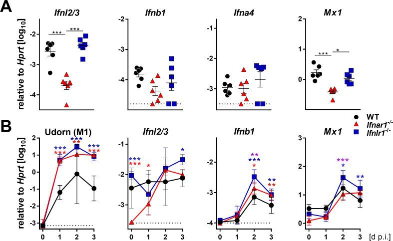 Basal expression of IFN-λ genes is reduced in Ifnar1 −/− mice. ( A ) Basal expression of type I ( Ifnb1 and Ifna4 ), type III IFNs ( Ifnl2/3 ) and Mx1 was measured by RT-qPCR in snout homogenates of WT (n = 6), Ifnar1 −/− (n = 6) and Ifnlr1 −/− (n = 6). Gene expression levels are shown relative to the housekeeping gene Hprt . Symbols represent individual mice, and bars represent means ± SEM. Statistical analysis: One-way ANOVA with Tukey's multiple comparisons; asterisks indicate p-values: ***p