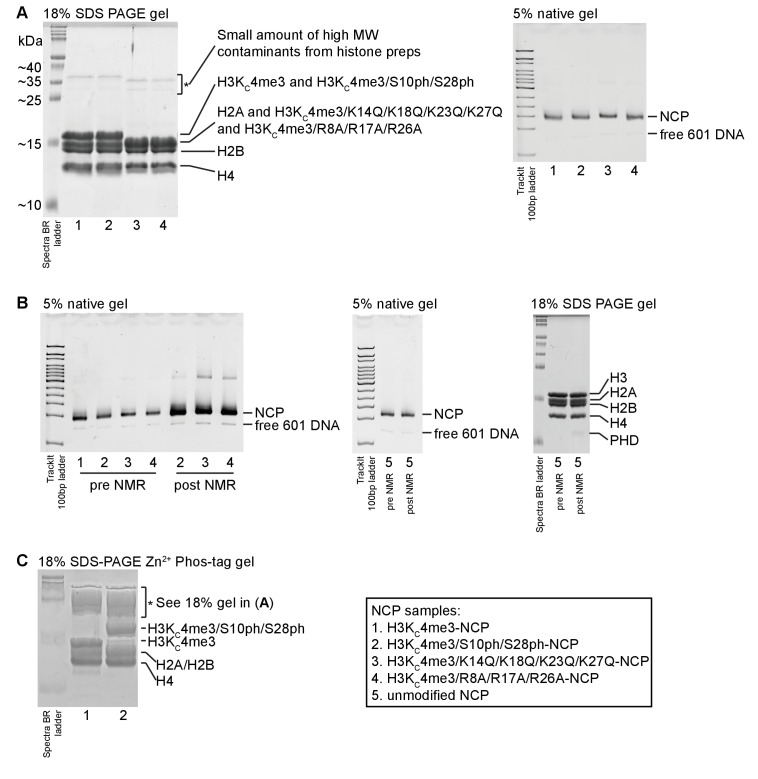 Gel characterization of NCP samples. ( A ) A representative 18% SDS-PAGE gel on NCP samples is shown. The 18% tris gel was run in Tris/glycine/SDS running buffer. Spectra Multicolor Broad Range Protein Ladder (ThermoFisher Scientific) was run alongside NCP samples. The histones are labeled. The H3K C 4me3/4xK-Q and H3K C 4me3/3xR-A histone mutants migrate faster on the gel (likely due to the change in charge composition) and are not resolved from H2A. A small amount of high molecular weight contaminants from the histone preps is visible and marked (*). Additionally, a representative 5% 75:1 acrylamide/bisacrylamide native gel run is shown. The gel was made and run in 0.2x TBE with TrackIt 100 bp DNA ladder (ThermoFisher Scientific) for reference. The gel was run on ice for 50 min at 125V and visualized via ethidium bromide staining. The NCP prepared with different H3 mutants and modifications are not distinguishable under these conditions. A small amount of free 601 DNA (which stains better than DNA within NCP) always remains after the sucrose gradient purification. ( B ). Native gels run on different NCP samples before and after NMR titrations show that the NCP remains intact over the course of the experiments. Note that different amounts of NCP were loaded on the left-most gel. Equal amounts of NCP were loaded before and after the NMR titration for the unmodified NCP (center gel). A denaturing gel run with the unmodified NCP shows that the histones were not degraded over the course of the NMR titration. ( C ). An 18% SDS-PAGE gel was prepared with 50 μM Zn 2+ -Phos-tag acrylamide AAL-107 in order to assess the degree of phosphorylation by AurB. The Spectra BR ladder is simply provided for reference; proteins are known to run slower and differently using Phos-tag acrylamide such that molecular weight estimation is no longer possible. The Phos-tag gel appears to smear and accentuate the high molecular contaminants (*), which might also be due to the 601 DNA present 