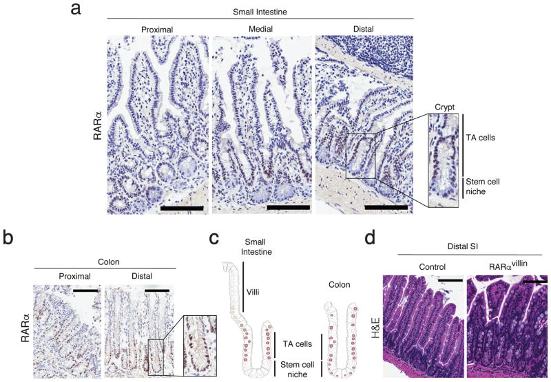 RARα expression in intestinal epithelial cells from the small intestine and colon. ( a–b ) Frozen sections from the proximal, medial and distal small intestine ( a ) and proximal and distal colon ( b ) were stainied for RARα. Onsets show a digital magnification of the crypt within the respective boxes. ( c ) Cartoon showing the RARα expression pattern through the crypt-villi axis (Small intestine) or crypt (colon). One representative figure out of three experiments. ( d ) H E staining of distal small intestine sections of control and RARα villin mice. One representative figure out of three experiments. TA: transit amplifying. Scale bars 100uM