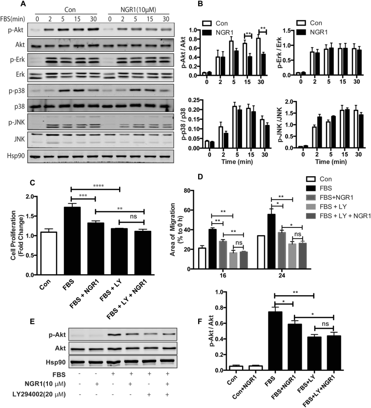 NGR1 inhibits serum-induced hCASMC proliferation and migration specifically through PI3K/Akt signaling pathway. ( A ) Western blot analysis of p-Akt/Akt, p-ERK/ERK, p-p38/p38, p-JNK/JNK in hCASMCs treated with NGR1 for 24 h and stimulated with 10% FBS for 0–30 min. Hsp90 was used as loading control. ( B ) Densitometry analysis of the phosphorylation protein normalized to total protein levels. Quiescent hCASMCs were treated with NGR1 (10 μM) for 24 h and incubated with LY294002 (20 μM) or LY294002 and NGR1 in presence or absence serum for 48 h. ( C ) Cell proliferation was quantified as fold increase of control. ( D ) Cell migration was quantified as percentage of area of migrated cells covered area relative to time 0. ( E ) Western blot of pAkt and total Akt from hCASMC treated with FBS, FBS + NGR1 with or without LY294002. ( F ) Densitometry analysis of the phosphorylation protein normalized to total protein levels of Akt under indicated condition. Data shown are means ± SEM. * P