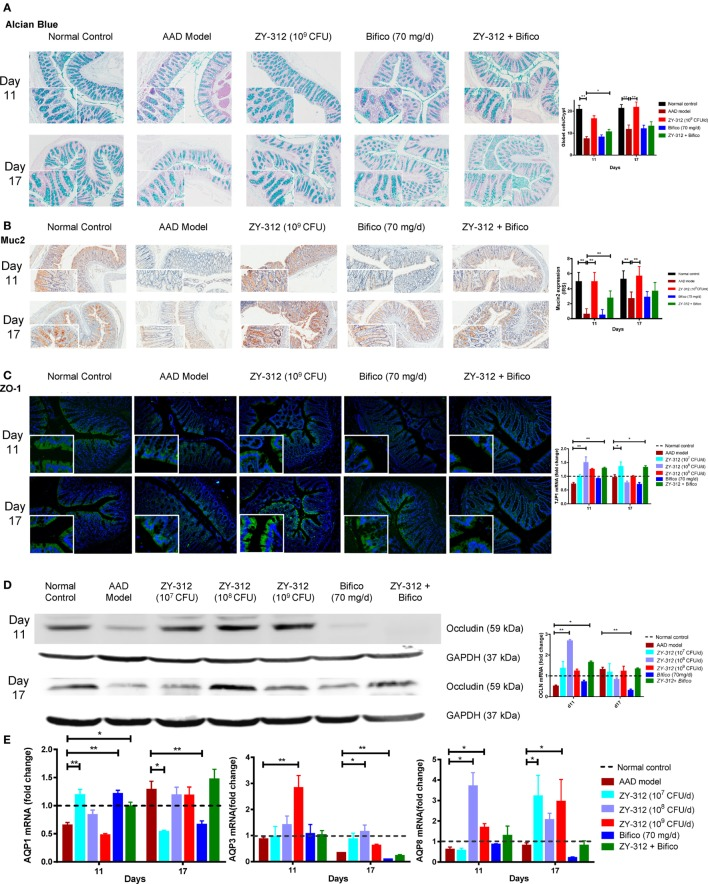 Bacteroides fragilis ZY-312 improves gut barrier integrity in antibiotic-associated diarrhea (AAD) rats. (A) Alcian blue staining for detecting goblet cells numbers were shown in normal rats, AAD rats treated with normal saline, ZY-312 [10 9 colony-forming units (CFU)], Bifico (70 mg/day), or Bifico (70 mg/day) combined with ZY-312 (10 8 CFU) on days 11 and 17. n = 8/group. (B) Immunohistochemistry of Muc2 protein located in colonic tissues was detected in all groups as mentioned above. (C) Immunofluorescence staining for ZO-1 and ZO-1 ( TJP1 ) mRNA level in all the groups was shown as mentioned above. The magnifications of the above figures are 10× and 40×. (D) Colon protein level and mRNA expression of occludin in all groups on days 11 and 17 were shown. (E) qPCR analysis of AQP1, AQP3, and AQP8 gene in colonic tissues were detected in all groups as indicated in Figure 3 , with mRNA fold changes normalized to those of normal control group. One-way ANOVA, * P