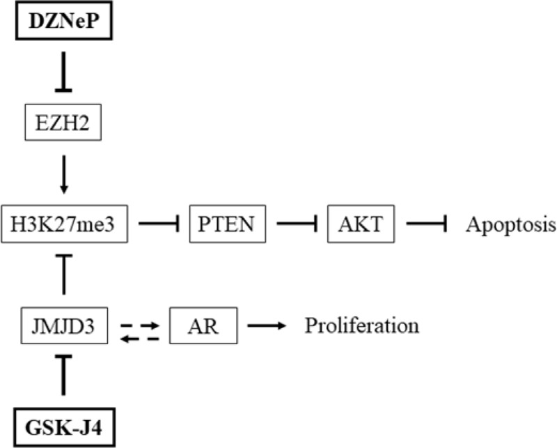 Interaction of GSK-J4 and DZNeP on PTEN and AR pathways Effects of JMJD3 and EZH2 inhibitors on key pathways involved in prostate cancer. JMJD3 inhibitor GSK-J4 enhanced H3K27me3 which inhibited PTEN expression and activated AKT; by contrast, DZNeP counteracted these effects. GSK-J4 acts on AR-driven transcription and interferes with proliferation. Arrows indicate an activation, blocked arrows indicate an inhibition and dotted arrows a presumed interaction.