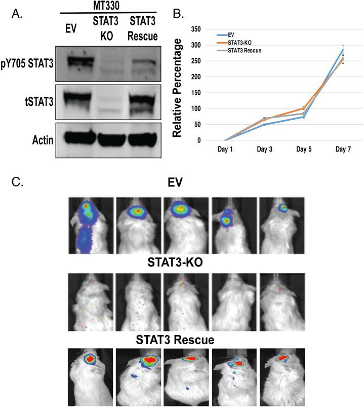 Role of STAT3 on MT330 GBM cell proliferation and tumorigenicity MT330 cells were transduced with empty vector (EV), STAT3 was deleted by CRISPR/Cas9 gene editing (STAT3-KO cells) and STAT3-KO cells were rescued with enforced expression of WT-STAT3. (A) Cell lysates were analyzed by immunoblotting for pY705-STAT3 and total STAT3. (B) Cell proliferation was determined CellTiter-Glo assays. (C) Tumorigenicity was assessed by injection of 10 6 tumor cells into the brains of NSG mice and live animal imaging was performed at 21 days post-injection.