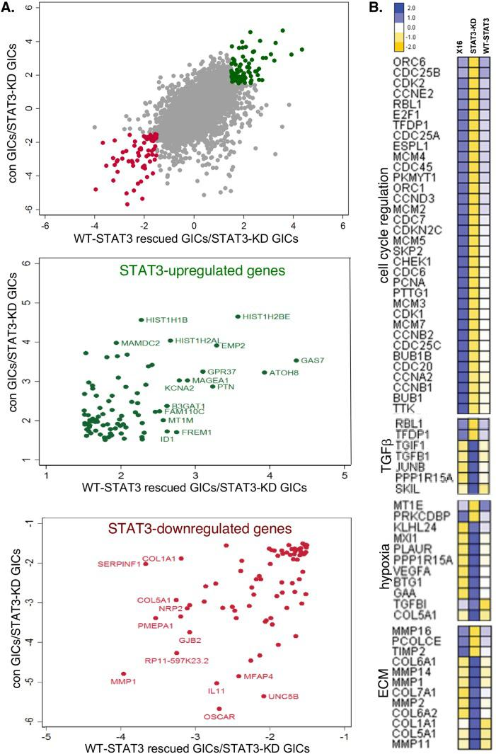 Effect of STAT3-KD on gene expression as determined by RNA-Seq RNA-Seq analysis was performed on RNA prepared from GBMX16 GICs not treated with Dox, GBMX16 GICs treated with Dox (STAT3-KD GICs), and WT-STAT3 rescued STAT3-KD GICs. (A) Concordance plot of genes positively (green) and negatively (red) regulated by STAT3 using a 1.5-fold cut-off. (B) Heat maps of STAT3-regulated genes involved in the cell cycle, TGFβ pathway, hypoxia response, and extracellular matrix.